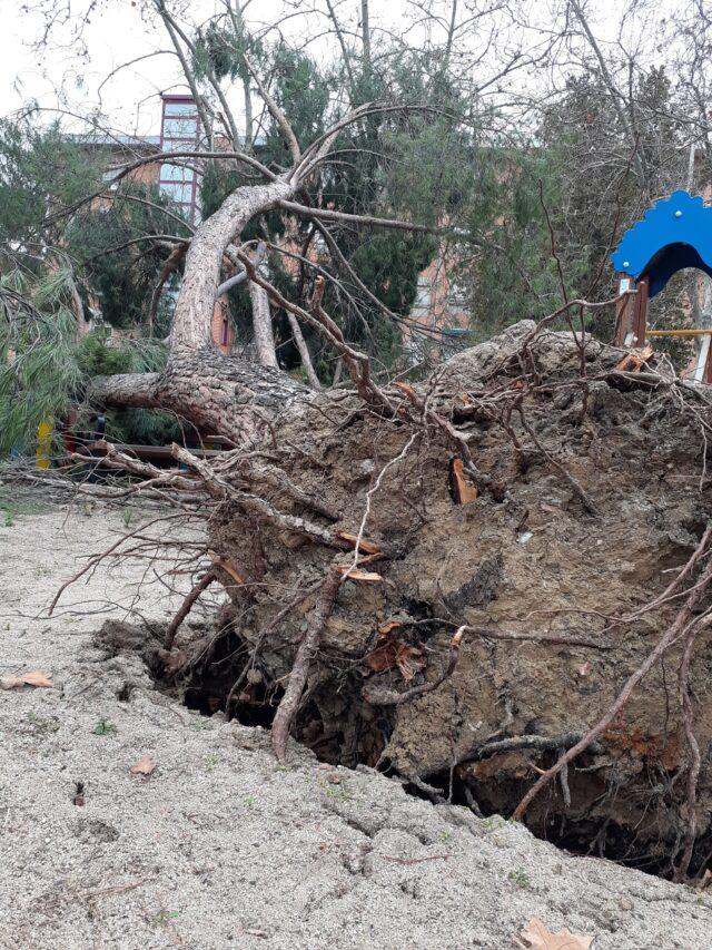 raíces de árbol caído filomena